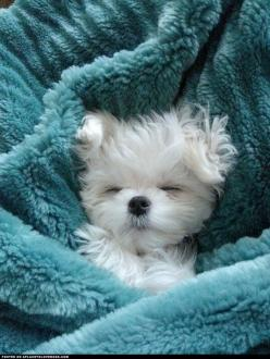 A ball of fluff...adorable: Doggie, Cute Puppies, Animals, Dogs, Maltese Puppies, Pets, Puppys, Box