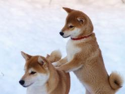 Adore Shiba Inu's. I miss Sadie; she was a rescue we ended up keeping. They're great dogs!: Doggie, Face, Cute Pets, Shiba Dog, Baby Dogs, Dogs Shiba Inu, Baby Shiba Inu, Animal