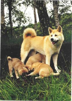 Akita - This dog looks a lot like my Raja.  Akita's are beautiful, joyful, loving and loyal dogs to their person.  Unfortunately, they tend to bond to one or two people in the family, and are horrible with other dogs and pets.  Much as I loved sweet R