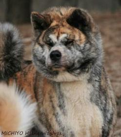 American Akita. Dogs are loyal and my dream is to have a dog in my life once I own a house with a garden.