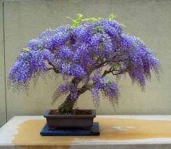As the vine I have brought forth a pleasant odour: and my flowers are the fruit of honour and riches.  Sirach 24:22-24 ~j~: Beautiful Bonsai, Bonsai Trees, Bonsai Wisteria, Wisteria Bonsai, Bonsaitrees, Wisteria Tree, Flowers, Garden