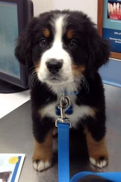 Bernese Mountain dog... i must have him: Puppies, Bernese Mountain Dogs, Animals, Pet, Puppys, Adorable, Baby
