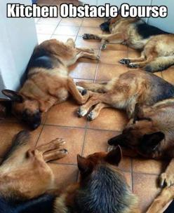 best obstacle course ever! 5 GSDs on sleeping on the kitchen floor. #dogs #germanshepherddogs