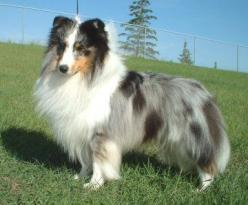 Blue Merle Sheltie - I wonder if Hayden's Santa puppy will grow up to look like this :)