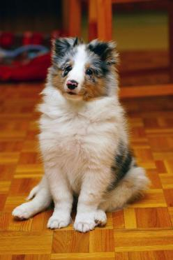 ~ Blue Merle Sheltie Pup ~: Sheltie Puppy, Aussie Shelties, Shetland Sheepdog, Sheltie Dogs, Sheltie Lover, Shelties Puppies, Blue Merle Shelties
