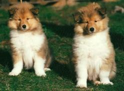 Border Collies: Border Collies, Border Collie Puppies, Collie Pups, Animals, Dogs, Pet, Puppys, Baby