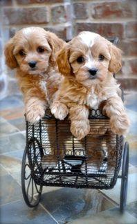 cavapoo - this has to be the cutest dog breed ever!! Maybe I'll have one of these after the goldendoodle.. :): Doggie, Puppies Dogs, Cavapoo Breeder, Cutest Dogs, Pet, Puppy, Cutest Dog Breeds, Goldendoodle, Animal