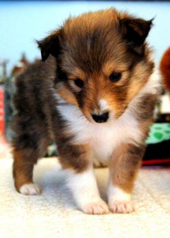 "collie baby...I have wanted a collie ever since the first ""Lassie"" movie I ever saw, as a child. Here is a little cutie!: Sheltie Puppie, Doggie, Shetland Sheepdog, Cutest Puppy, Cute Puppies, Sheltie Puppy, Baby Sheltie, Shetland Sheepdog,  Shetl"