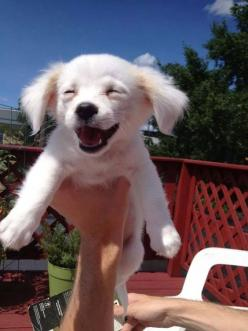 Do you think this dog is happy? Check out this video of my dog!!!!: Guy, Pet, Puppys, Maltipoo Puppy, Teddy Bear Dog, Animal