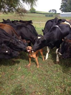 Dog Is So Happy To Receive Kisses From Cows: Kiss, Animals, Dogs, Pitbull, Funny, Pit Bull, Cows, Friend