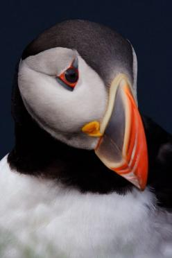 Extraordinary ability for photographers to close access the Atlantic puffin rookery at Latrabjarg Cliffs in Iceland makes for great photo opportunities.  Plus, unlike other ocean access sites, it's possible to drive in to remote Latrabjarg Cliffs in weste