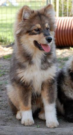 #Finnish #Lapphund - a spitz-like #dog from Finland. Click here to read more about it!