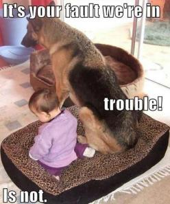 german shepherd puppy funnies | Dog Pictures: Funny Dog Memes: Animals, Dogs, Pet, Funny Stuff, German Shepherds, Funnies, Funny Animal