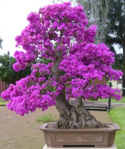 Gorgeous Bouganvilla Bonsai