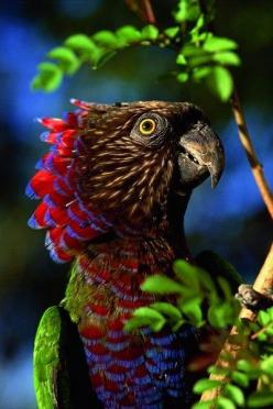 Gorgeous! Nature is beautiful! Hawk Headed Parrot in the Amazon Basin, parrots, birds, beautiful birds, colorful birds