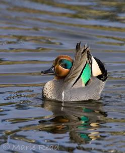 Green Winged Teal - these guys are year round residents in this part of Colorado.