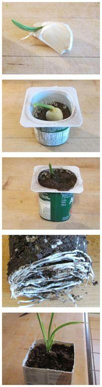 How to grow garlic indoors using a garlic clove that had sprouted in with the onions. So much easier that I thought it would be. Grew so fast I had to transplant it to a bigger pot after just a couple of weeks. So much fun.: Garlic Clove, Garlic Indoors,