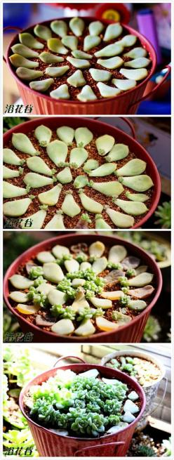 How to propagate succulents.: Succulents Garden, Propagating Succulent, Growing Succulent, Succulant Garden, Grow Succulent, Propagate Succulent