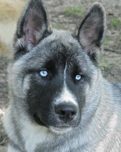Huskita: Husky/Akita Gorgeous mix but might be stubborn as all hell. Huskies and Akitas are VERY stubborn and strong willed, could be a challenge... Not for first time dog owners. Experienced owners would be best as Akitas are protection dogs and must kno