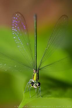 If only our eyes could see the exquisite beauty in all things..: Green Thing, Dragon-Fly, Insects, Photo, Dragonflies, Animal