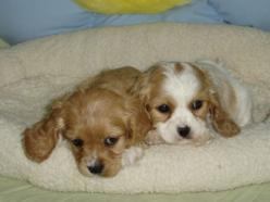 King Charles Cavalier: Puppies, Animals, Dogs, Cocker Spaniel, Puppys, Cavalier King, Box, King Charles Cavalier