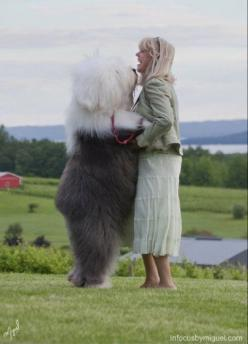 Kiss, kiss, an old english sheepdog :) http://top10dogpictures.com/top-8-funniest-dog-kisses-ever.html: Sheep Dogs, Animals, Old English Sheepdog, Pet, Old English Sheep Dog, Friend, Big Dogs