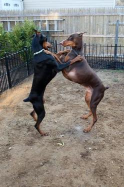 Life span of Doberman Pinscher is very much similar to many other breeds.Click the picture to read more: Dobermans Dogs, Doberman Dogs, Play, Dancing Dobermans, Era, Animal, Dobermanpinschers