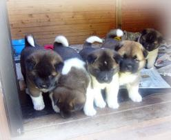 Love Akita pups...I'd say i wanna bite 'em but that won't be a happy result.
