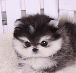 Micro Husky Teacup | Teacup Shih Tzu Puppies for Sale: Teacup Dog, Teacup Pomeranian, Teacup Puppies, Husky Teacup, Puppys, Micro Husky, Animal