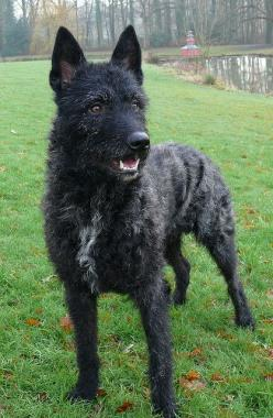 New to our list?: Rough-Haired Dutch Shepherd