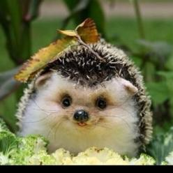 OMG..how cute is he - look at his little tongue!!: Animals, Cuteness, So Cute, Pet, Happy Hedgehog, Creatures, Baby Hedgehogs, Things, Smile