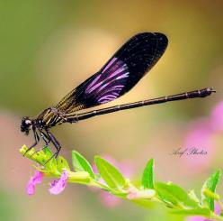 Purple dragonfly or damsel fly. It is odonata. Even I can tell that. Yes, these guys need a board of their own.: Butterflies Dragonflies, Dragon Flies, Amazing Damsels, Purple Dragonfly, Dragonfly S, Dragonfly Damselfly