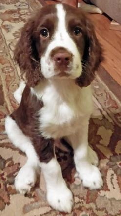 Reagan the English Springer Spaniel