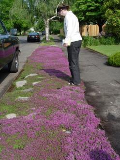 Red Creeping Thyme. grows 3 inches tall max. no mowing needed ever. beautiful fresh lemony scent. gorgeous with lavender. perennial. repels mosquitoes. can grow as entire lawn.