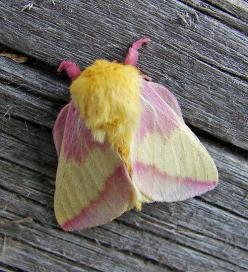 Rosy Maple Moth (Dryocampa rubicunda) photo by vtpeacenik (flickr)   www.carolinanatur... #nature #insects