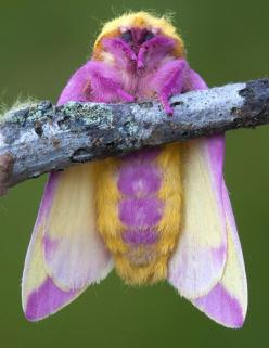 rosy maple moth. Isn't this the prettiest little thing. I have always loved moths. When I was little I was always wanting to pet them!