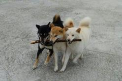Shiba Inus w / a stick-almost looks like our Shiba pack if you trade the black one for another red instead. Super cute!!!