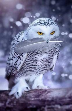"Snow owl * * "" Not one step closer... dis feather is mine...yoo thought yoo wuz gonna do some pluckin'. On yer way, big pink monkeys."": Animals, Nature, Beautiful, Snow Owl, White Owl, Birds, Snowy Owl, Owls"