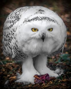 ~~Snowy owl by Digisnapper~~