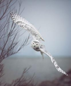 snowy owl flying. wow Great Reads from Exceptional Authors at http://wildbluepress.com: Animals, Nature, Beautiful, Snow Owl, Snowy Owl, Birds, Photo, Snowyowl, Owls