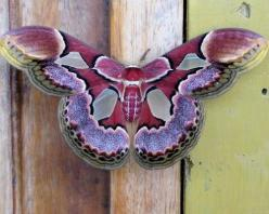 "Some-kinda Moth (whatca macallit) ~ Miks' Pics ""Butterflies and Moths l"" board @ http://www.pinterest.com/msmgish/butterflies-and-moths-l/: Beautiful Butterflies, Butterfly, Bugs, Flutterby, Beautiful Moth"