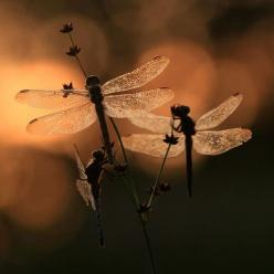 sooo creepy and elegant at the same time...dragonflies: Dragon Flies, Dragonfly S, Art, Photo, Animal, Dragonflies