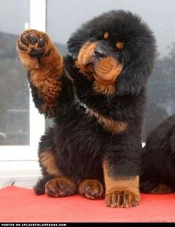 Super big and fluffy Tibetan Mastiff puppy. Okay, buh bye mommy… don't forget the milkbones. If you go to Costco you can get them in bulk!!