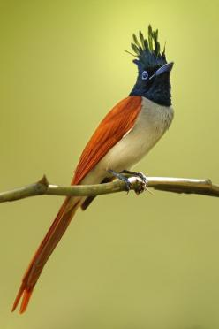 The Asian Paradise Flycatcher (Terpsiphone paradisi) is a medium-sized passerine bird native to Asia.