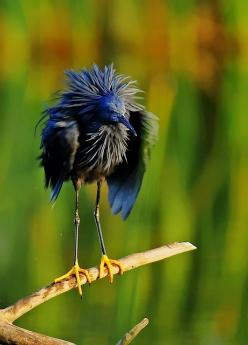 The Black Heron (Egretta ardesiaca) also known as the Black Egret, is an African heron. It is a medium-sized (42.5–66 cm in height), black-plumaged heron with yellow legs and feet. It is found south of the Sahara Desert, including Madagascar, and prefers