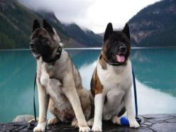 Two Akitas named Joji and Musha. #pets