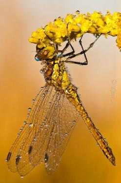 Yellow Dragonfly   ...........click here to find out more     http://googydog.com: Butterflies Dragonflies, Dragonflies Damselflies, Dragon Flies, Yellow Dragonfly, Animals, Dragonfly S, Dragonfly Damselfly, Yellow Flower