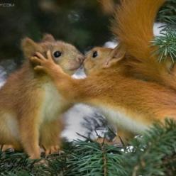"* * "" It be alrightz Sammy. We allz climb de wrong conifers once in awhiles. Dey almost allz look de same. Dis be de rightz one ! "": A Kiss, Kiss Me, I Love You, Kissing Squirrel, Red Squirrel, Cute Animals, Funny Animal, Squirrel Kisses, Adorable"
