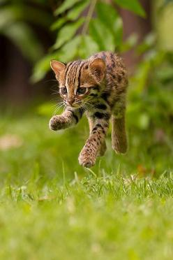 """""""Levitating!"""" (Photo By: Ashley Vincent on 500px.): Big Cats, Leopard Cat, Bengal Cat, Dogs Cats, Wild Cats, Baby Animals, Baby Leopard, Animals Cats, Cats Big"""