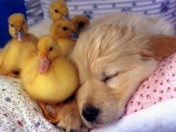 """Ok! He's asleep. Now's our chance to escape. Let's all... Damn it, Kyle! If you quack like that, he's going to wake up, ok? He's a puppy! Use your head!"": Cuteness Overload, Sweet, Baby Ducks, Duckling, Adorable Animals, Golde"